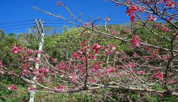 今帰仁城跡の寒緋桜