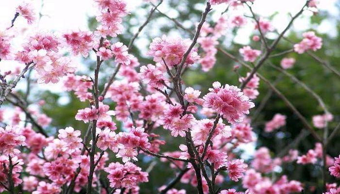 沖縄の緋寒桜